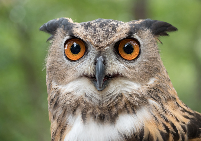 Eurasian eagle-owls can be up to 80cm tall and have a wingspan of up to 1.8 metres