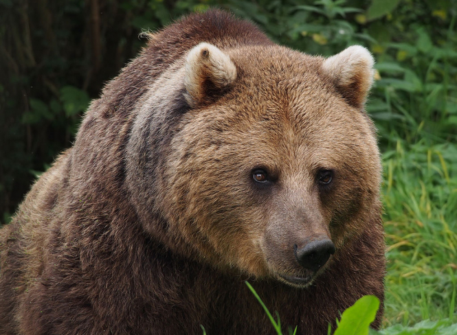 A brown bear. A Pyrenees bear has been found illegally shot dead in southwest France prompting condemnation