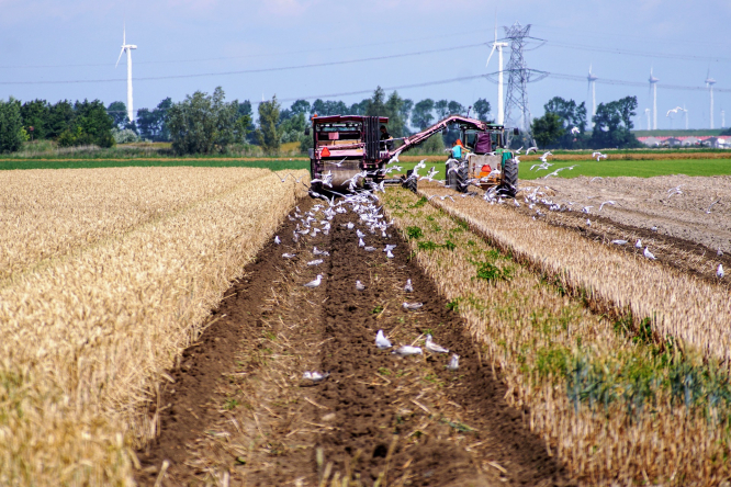 Cut straw being cleared on field with windfarm in background and seagulls following tractor