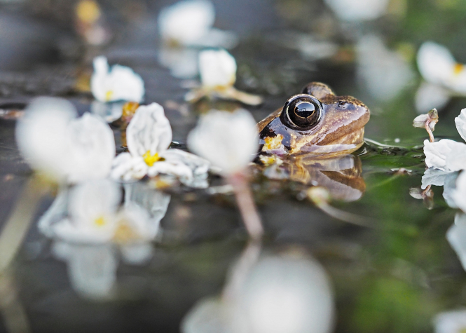 Frog in water with blossom. Route in east France closed to allow frogs to mate safely