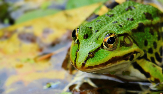 End to eight-year battle over 'noisy frog' pond