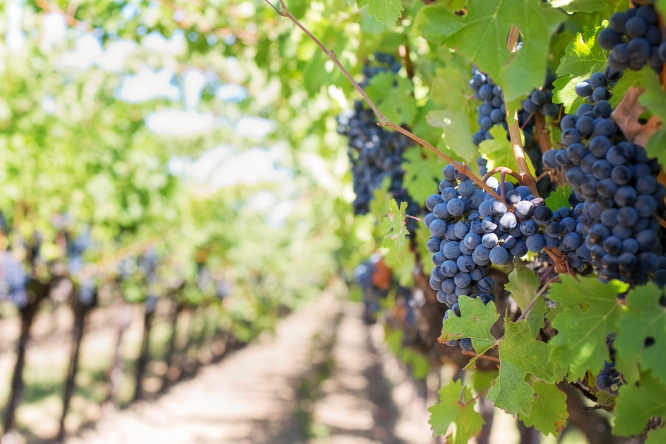Grapes on vine in vineyard. Farms in west France bought most herbicide, study finds