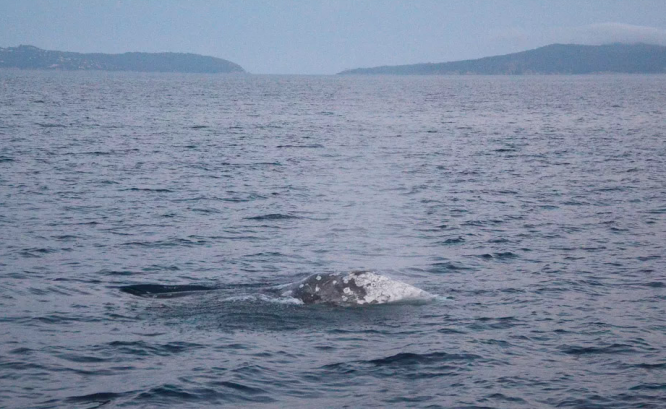 Grey whale spotted in French Mediterranean. Help scientists look for at-risk whale off France's south coast