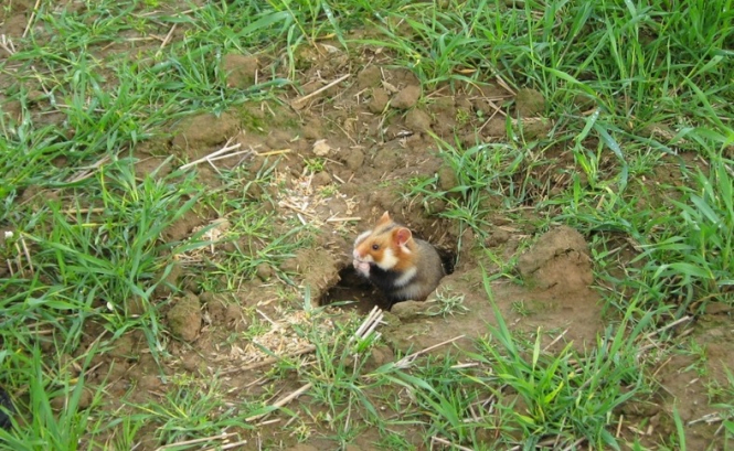 A hamster comes out of its burrow. The Alsace great hamster is now in 'critical danger of extinction'.