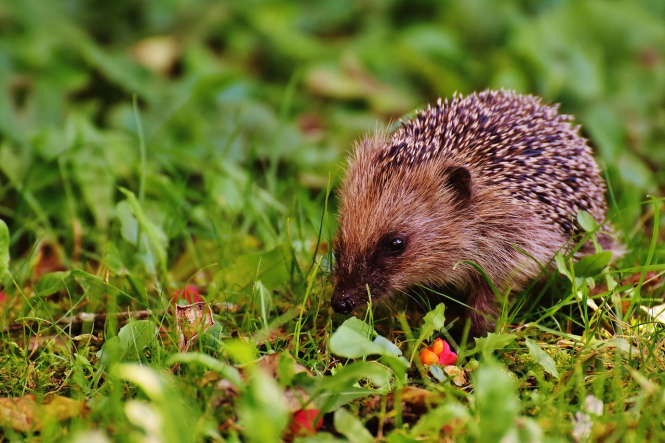 A hedgehog in a garden. Gardeners in France have been asked to help hedgehogs in new campaign