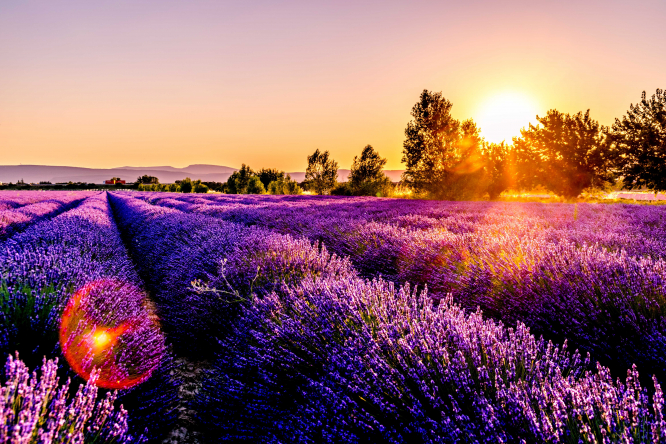 A lavender field in Drôme, France