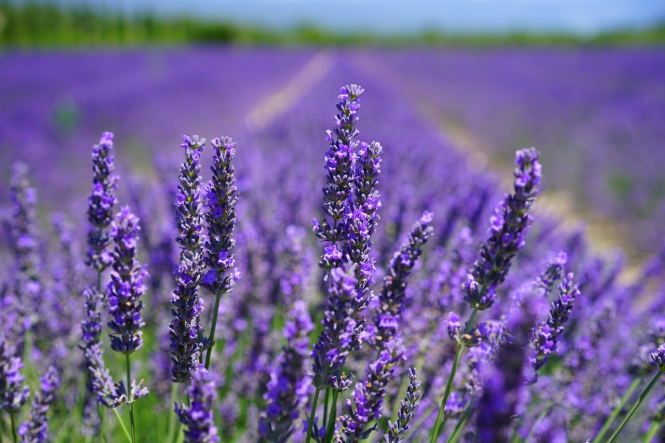 A lavender field. The best plants to grow in France to deter mosquitoes including mint lavender rosemary