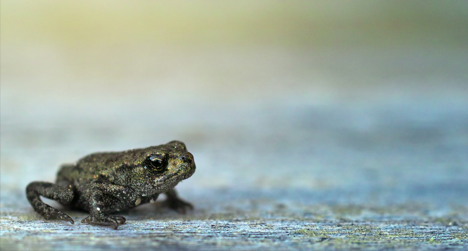 Little frog on grey background. Road closed in Brittany to let frogs cross