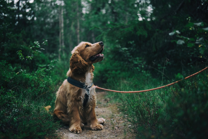 A dog on a lead in a forest. France to fight pet abandonment with new adoption rules