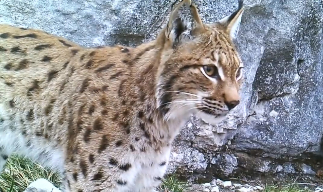 A lynx caught on a hidden camera. Caught on camera: Rare lynx sightings in French Alps