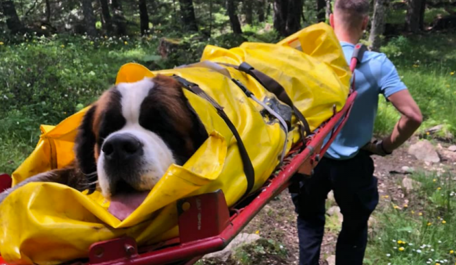 Saint-Bernard dog O'neill is rescued from the mountain on a stretcher. Role reversal as Saint-Bernard dog needs rescue after fall in Pyrénées