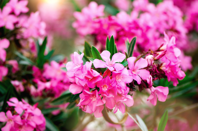 Blooming pink oleander flowers in a garden. Warning in France over poisonous plants in shops and in the wild