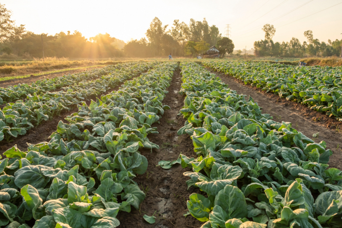 Organic vegetables growing on a farm. Organic crops in France found to contain herbicide carried in wind