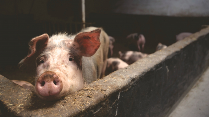 A pink pig in a sty. A french petition for areferendum on animal cruelty has reached 500,000 signatures