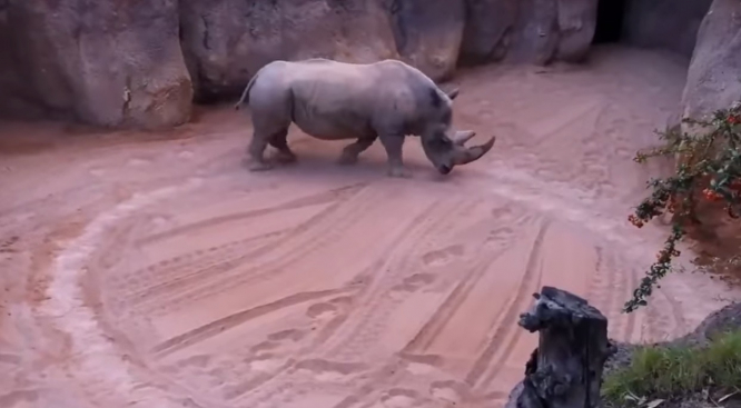 A screenshot of the video showing Romulo the rhino walking round and round in circles. Marseille may ban circus animals after rhino video emerges