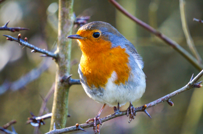 Robin on a branch. France changes laws to make glue trap hunting for birds illegal