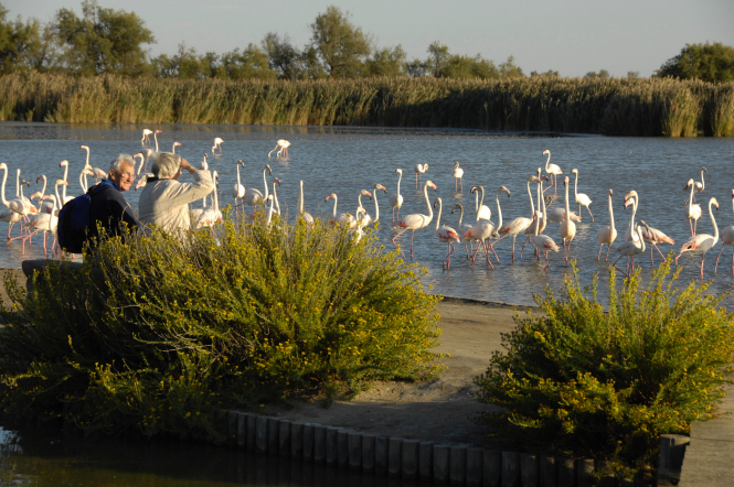 Scientists have identified three main reasons for the increase in breeding flamingo pairs in the Camargue. Photo: flamingos in water by Parc Orinthologique Pont de Gau