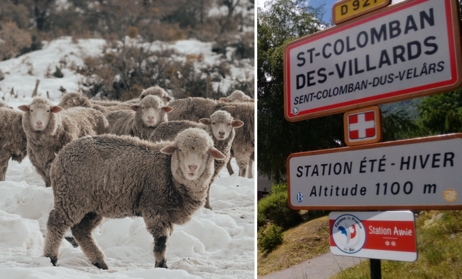 Sheep graze on a snowy mountain, and a road sign for St-Colomban-des-Villards. Crisis team helps animals trapped in French Alps after snow