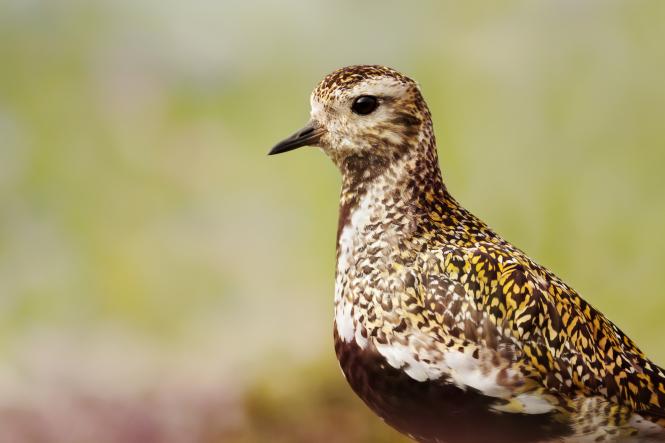 A close up of a European golden plover bird