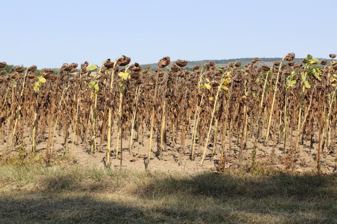 A drought-stricken, dried-out field of sunflowers in France