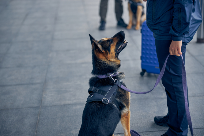 A sniffer German Shepherd dog sits and looks up at its handler