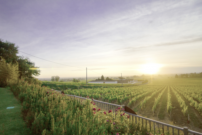 sun over vineyard
