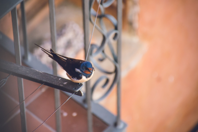 A swallow sits on a washing line outside a home. Residents called to save dying swallows in southwest France