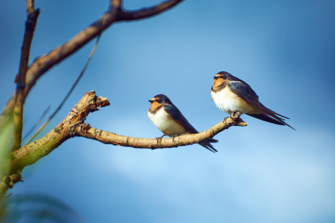 Two swallows sitting on a branch. France's swallow population has fallen by 40% in the last 20 years