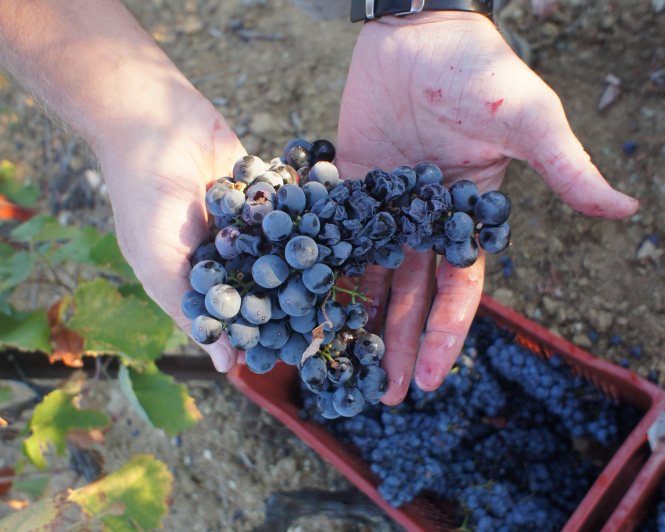 A bad bunch of grapes in the hand-picking process of wine-making.