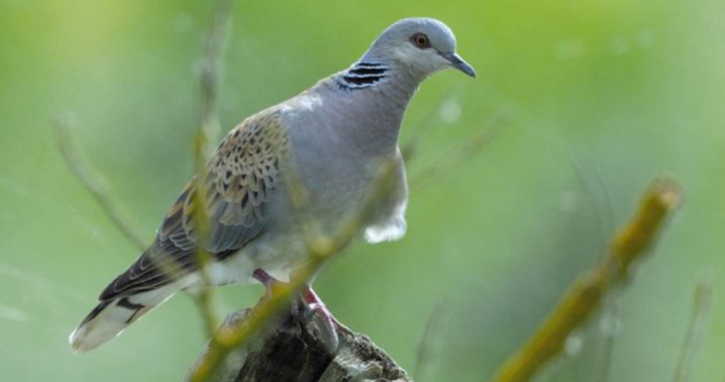 A woodland turtledove on a branch. France Conseil d'Etat bans turtledove hunting for 2020-21 as numbers drop