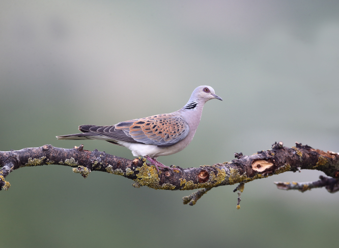 Turtle dove on a branch. France's bird population declined by 30% in 30 years, figures reveal