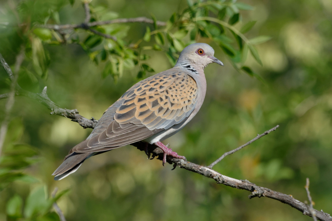A turtle dove on a branch. French hunters protest cancellation of traditional hunts