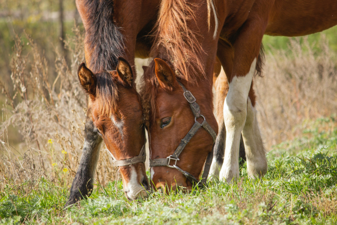 Two brown horses with their heads together in a field. A horse has been found killed with its ear removed in eastern France.