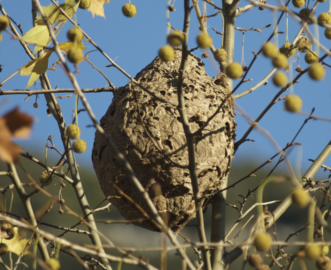 Watch out for Asian hornets this summer in France. Pictured: an Asian hornet nest.