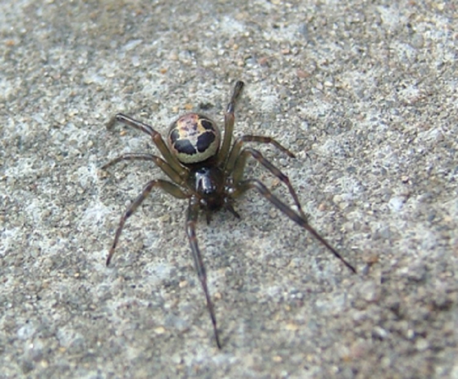 False Widows In Pyrenees