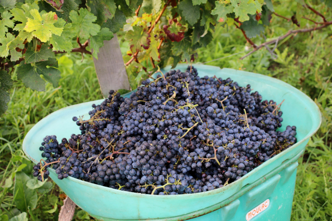 Harvested grapes in a panier