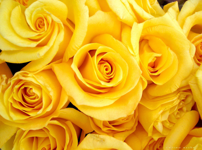 yellow roses in a display