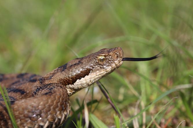 viper asp found in france