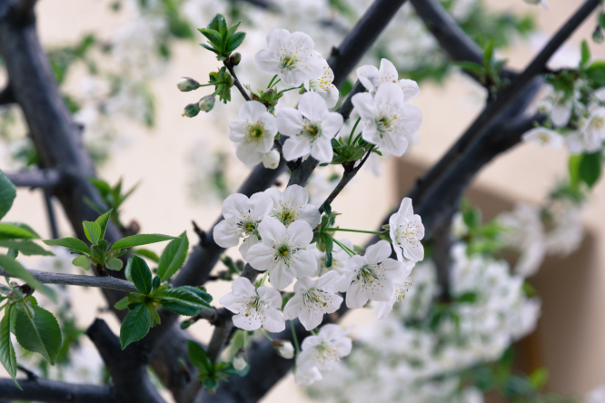 White blossom on a tree. Cold weather in France: How to protect flowering fruit trees
