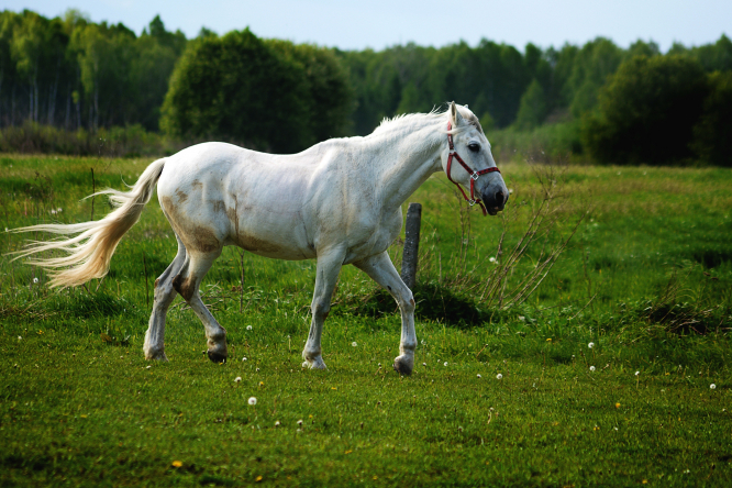 A white horse trotting in a field. French police have shared a sketch of a man they believe is attacking and killing horses in France.