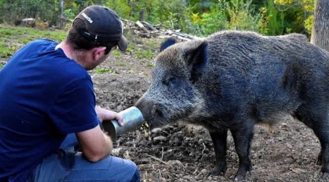 Maurice the boar is fed at home. Brigitte Bardot foundation demands right for local woman to keep wild boar as a pet