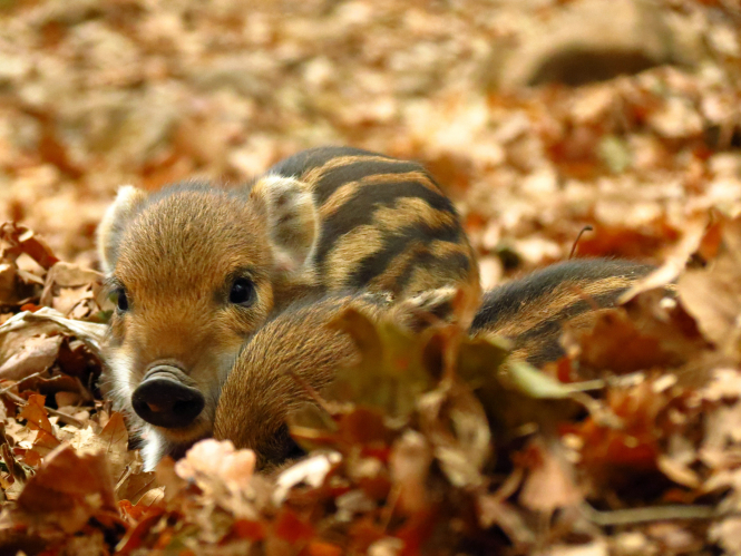 Wild boars can plough up gardens and get into swimming pools - try this oil to repel them. Pictured: baby wild boars.