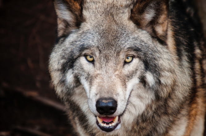 A wolf. Wolf identified in southeast Vienne is first in a century