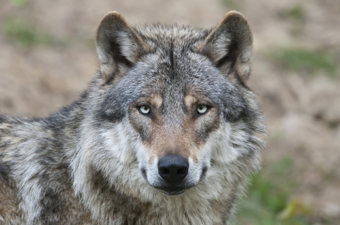 Grey European wolf. Bloody wolf corpse left hanging in front of Mairie in southeast France