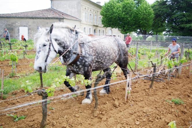 Working horse in vineyard