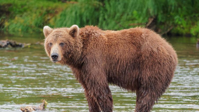 A brown bear.