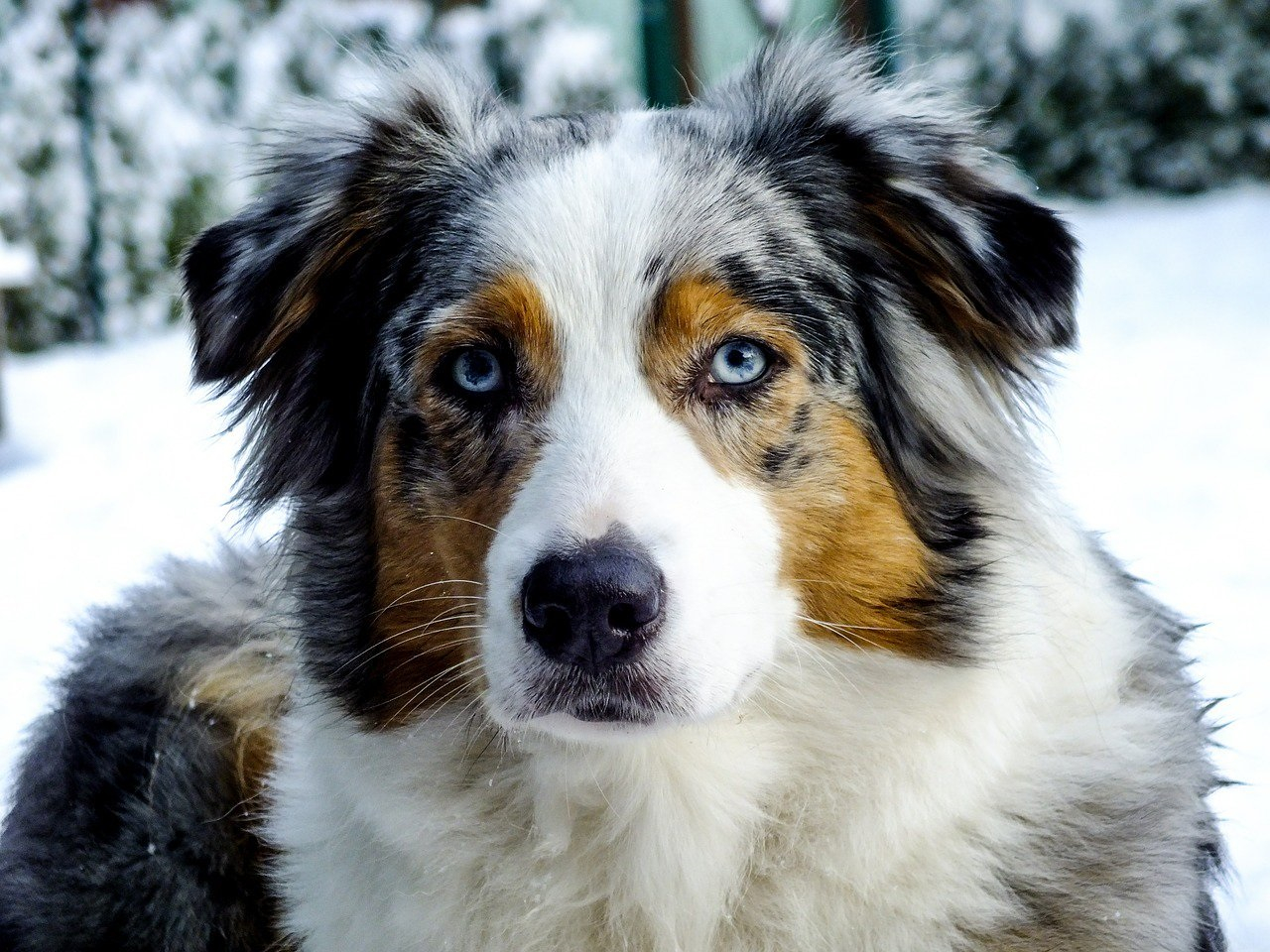 Australian Shepherd Is France S Favourite Dog Again