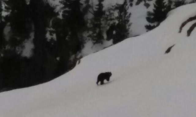 Distant photo of a bear cross a snowfield in the mountains
