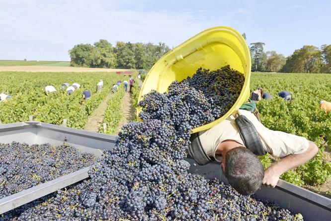 Beaujolais nouveau vendange harvest
