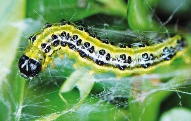 Boxtree moth caterpillar green and black